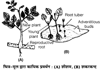 UP Board Solutions for Class 12 Biology Chapter 1 Reproduction in Organisms Q.1.3