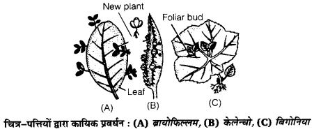 UP Board Solutions for Class 12 Biology Chapter 1 Reproduction in Organisms Q.1.4
