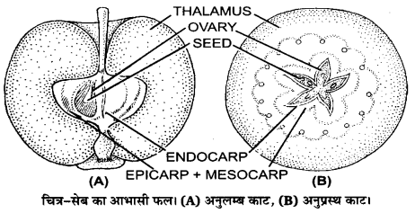 UP Board Solutions for Class 12 Biology Chapter 2 Sexual Reproduction in Flowering Plants Q.14