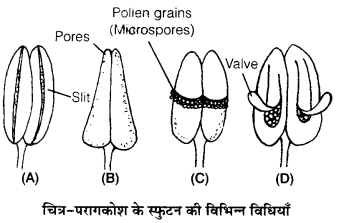 UP Board Solutions for Class 12 Biology Chapter 2 Sexual Reproduction in Flowering Plants 3Q.1