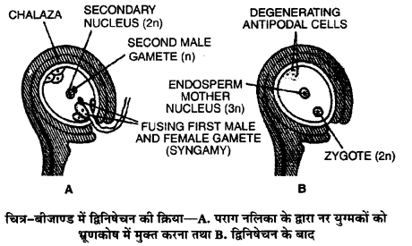 UP Board Solutions for Class 12 Biology Chapter 2 Sexual Reproduction in Flowering Plants 3Q.3