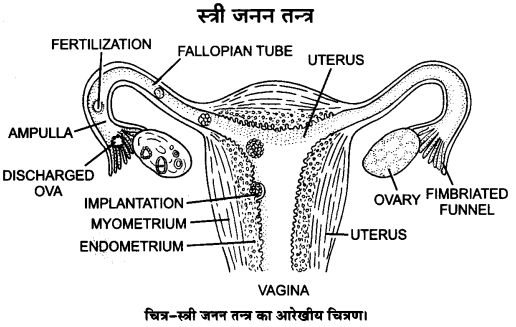UP Board Solutions for Class 12 Biology Chapter 3 Human Reproduction Q.3