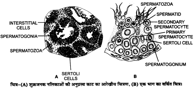 UP Board Solutions for Class 12 Biology Chapter 3 Human Reproduction Q.5