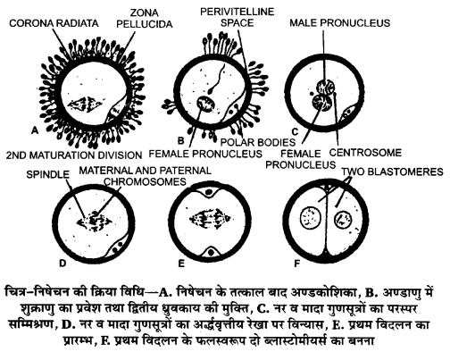 UP Board Solutions for Class 12 Biology Chapter 3 Human Reproduction 2Q.1.2